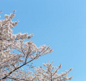PAK65_harunosakura20140405-thumb-autox1600-16884